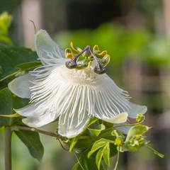 White passiflora flower