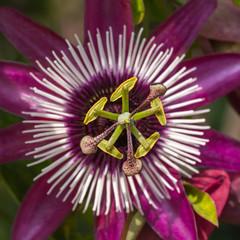 Pink passiflora flower