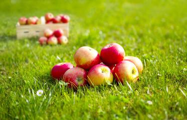 Frisch geerntete Äpfel