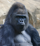 Portrait of a gorilla male, severe silverback, on rock