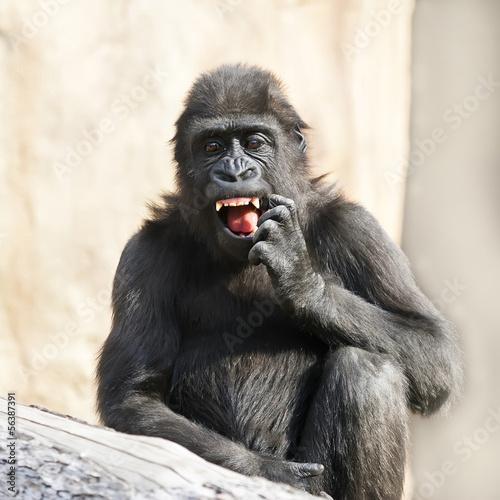 Fototapeten,affen,gorilla,monkey,haare