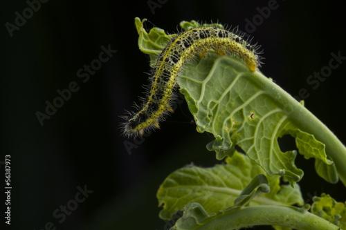 bruco cavolo Pieris Brassicae