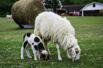 Mother sheep and her lamb in green meadow