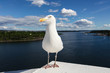 Seagull on a background of Oslo fjord