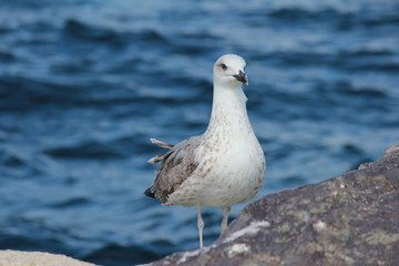 Silbermöwe (European herring gull)