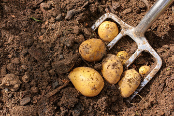 Potato harvest, neue Kartoffeln