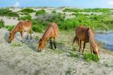 Three wild horses grazing in sand dunes - 56395332