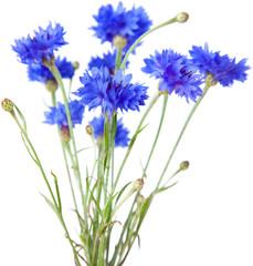 cornflower isolated