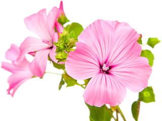 pink lavatera isolated on white