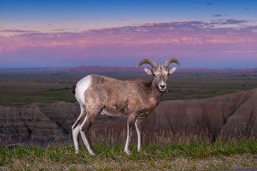 Badlands Bighorn Sheep Male