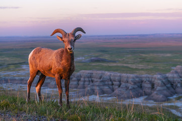 Badlands Bighorn Sheep at Sunrise