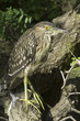 a juvenile of Black crowned night heron