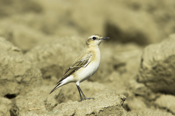 Northern Wheatear on the ground / Oenanthe oenanthe