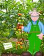 Tomaten, bio