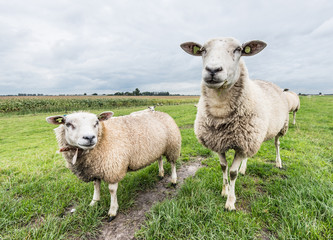 Two curiously loking sheep