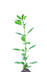 Holy basil plant or Ocimum sanctum
