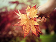 Hand of a woman holding maple leaves
