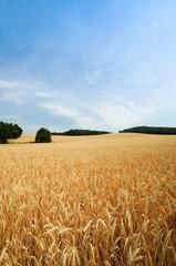 Getreidefeld, Getreideähren