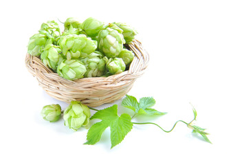 Branch of hop is with cones and sheets (Humulus lupulus) are in