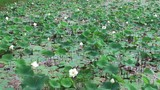 Pond with white lotus flowers.