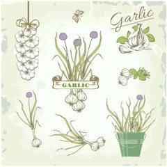 Garlic vegetables, herb, plant, vintage background,