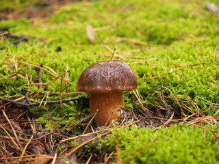 Boletus edulis with rain drops in the autumn forest