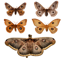 Collection of European Emperor Moths.