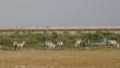 Plains Zebras grazing, Amboseli National Park