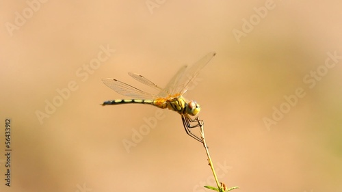 Yellow dragonfly on the branch. An orange background.