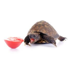 Hungrige Schildkröte