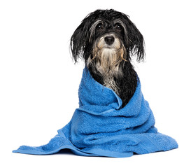 Wet havanese puppy dog after bath is dressed in a blue towel