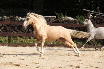 Gorgeous palomino stallion running
