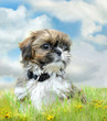 Shih tzu puppy sitting on grass