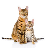 two bengal cats. mother cat and cub. isolated on white