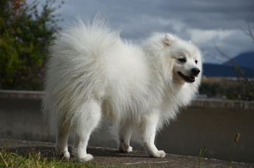 Japanese Spitz, side view