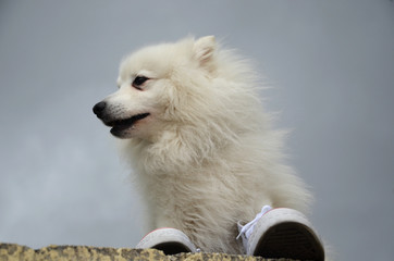 Japanese Spitz on the stone fence and sneakers
