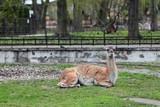 Lama guanicoe Guanaco in the open aviary of the zoo poster