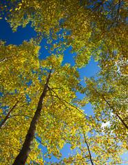 autumnal aspens