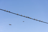 Swallows on cable