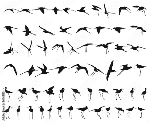 Sixty Black-winged Stilts