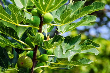 Fig Tree Leafs and Fruits.