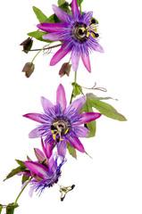 Passionsblumen: passiflora violacea / Studioaufnahme