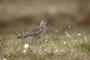 Curlew, Numenius arquata