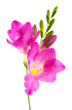 Beautiful freesia flower, isolated on white.
