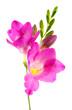 Beautiful freesia flower, isolated on white.