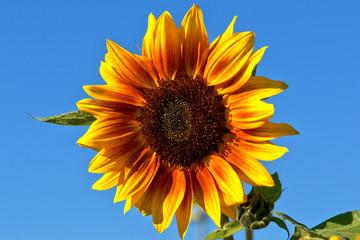 Zweifarbige Sonnenblume