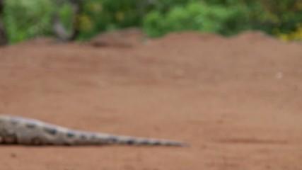 Attack of Indian cobra (Naga naja)