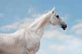 White a hkhal-teker horse portrait on the sky background