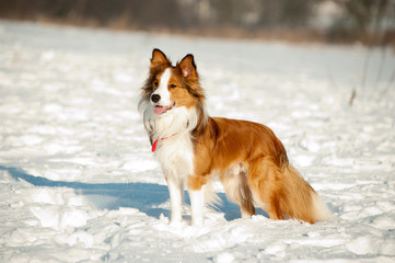 Border Collies fun in winter