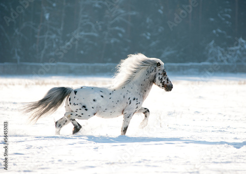 appaloosa pony runs free through the winter field